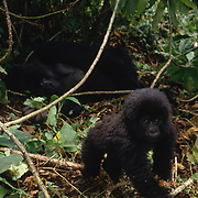 Portrait of baby mountain gorilla in Volcanoes National Park Rwanda, Africa.