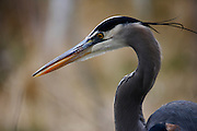 IDAHO. Boise. Morrison-Knudsen Nature Center. Great Blue Heron fishing in pond in winter. February 2006. #bh060306