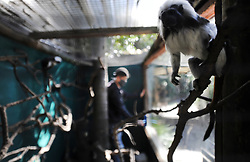 South Africa - Cape Town - 5 May 2020 - Tashreeq King cleans the glass of the Cotton top Tamarin enclosure. The World of Birds in Hout Bay are suffering serious financialdamage as visitors are not permitted to visit the sanctuary during Lockdown Level 4. Their staff still need to maintain the facility and feed all the park's animals. They have started a Back a Buddy campaign https://www.backabuddy.co.za/world-of-birds-wildlife-sanctuary-campaign to help them survive these troubled times. Photographer: Armand Hough/African News Agency(ANA)