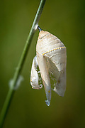 A casing remains attached to grass after an adult Monarch Butterfly has emerged from it's pupa. Salmon, Idaho