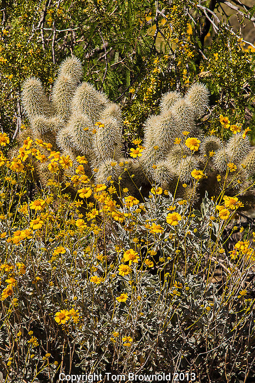 Creosote,Brittle bush together blooming with a teddy bear cholla in the middle.