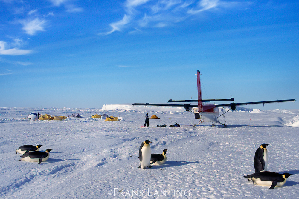 Emperor penguins passing by expedition camp, Aptenodytes forsteri, Antarctica