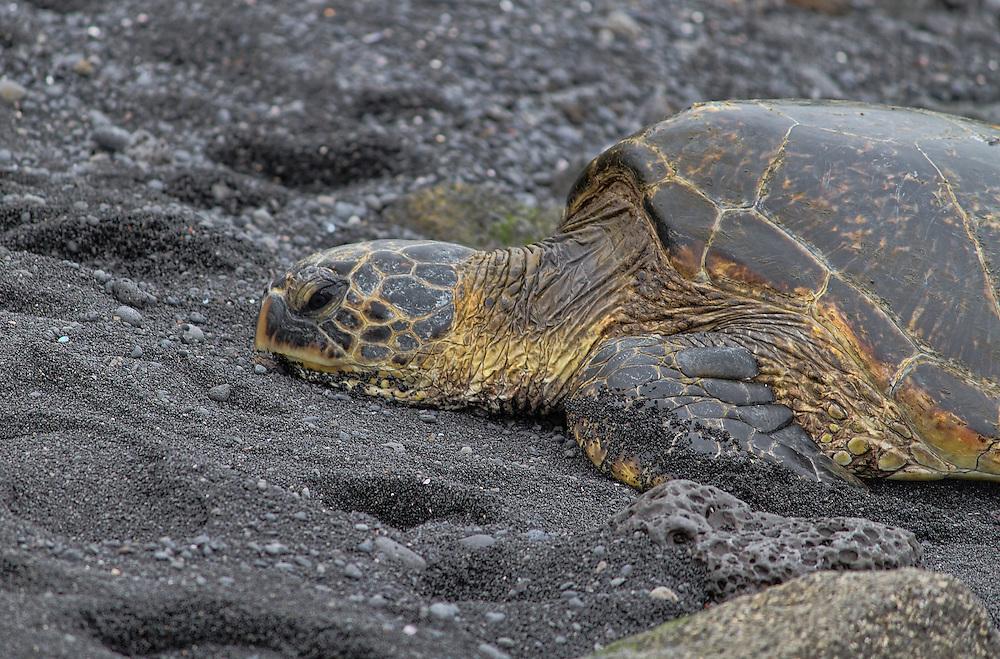 Green Sea Turtle on the black sands of Punalu'U Beach