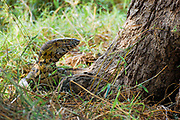 A six-foot-long Nile Monitor  in the wild at Gorongosa National Park in Mozambique