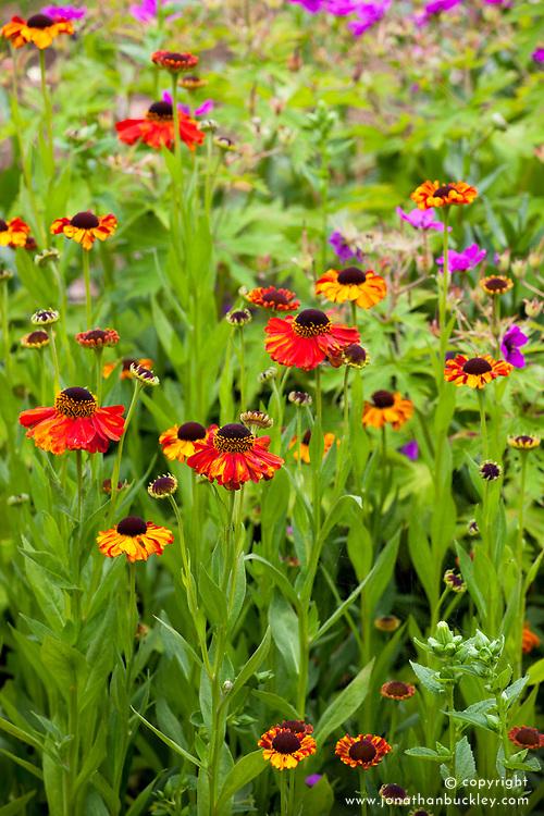 Helenium 'Sahin's Early Flowerer'  AGM. Sneezeweed