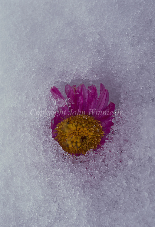 Purple aster, alpine aster, under ice. Glacier National Park, Montana.
