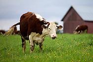 Hereford cattle on Heikkilän organic farm.