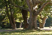 alte Bäume, Schlosspark Belvedere, Weimar, Thüringen, Deutschland | old trees, palace park Belvedere, Weimar, Thuringia, Germany