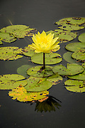 A yellow water lily hybrid (Nymphaeaceae), Florida.