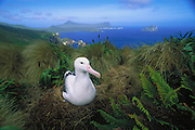 Royal Albatross<br /> (Diomedea epomophora)<br /> Campbell Island, Sub-Antarctic Islands, NEW ZEALAND<br /> RANGE; Chatham Island, New Zealand, Campell & Auckland Sub-Antarctic Islands