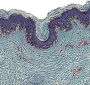 Cross section of human skin showing a layer of tattoo ink in the skin. A tattoo is made by inserting permanent ink into the dermis (lower layer) of the skin using a needle.  This image was photographed at 200x on a 35mm sensor.