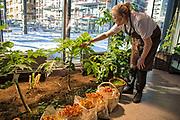 Heidi Bjerkan, innehaver av Credo, sjekker papaya-avlingen inne i restauranten. De har allerede høstet av frukten, selv om det er kald vårvinter utenfor i Trøndelag. I forgrunnen flamingosopp, en av de få produktene de ikke dyrker selv, men får av en lokal leverandør. Nyåpnede Credo restaurant i Trondheim, er et moderne og romslig spisested som har fått tilhold i et gammelt industriområde på Lilleby. De bruker lokale råvarer, og er selvforsynt med alt grønt. Det dyrkes i samarbeid med et gårdsbruk i sommersesongen, og innendørs på tilsammen 50 m2 fordelt på alle steder der det er mulig.