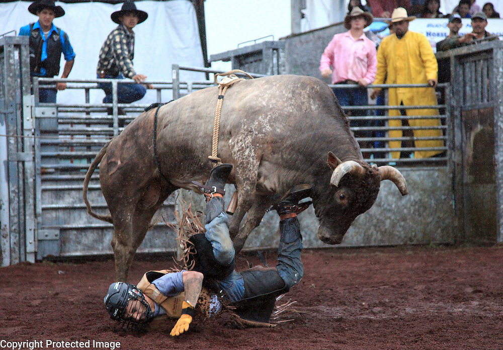"A bull rider competes in the bullriding competition at the ""Panaewa Stampede Rodeo"" at the Panaewa Equestrian Center in Hilo, Hi. Participating in rodeos has always been a large part of the Hawaiian cowboy culture which served to bring cowboys together outside of work to have fun and bond.  ""There were Japanese cowboys, Phillipino cowboys, Hawaiian cowboys, Portuguese cowboys, Chinese cowboys...We all ate together, played together, rode horses together, rodeod together.  It was all family,"" says Sonny Keakealani of his younger years as a cowboy and the community he was part of."