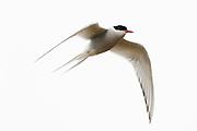 CANADA, Nunavut.Arctic tern (Sterna paradisaea) in flight