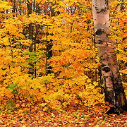 """Birch Bark and Autumn"" 2<br />