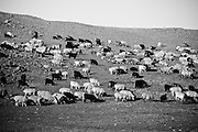 A flock of sheep and goats on a hillside in rural Mongolia.