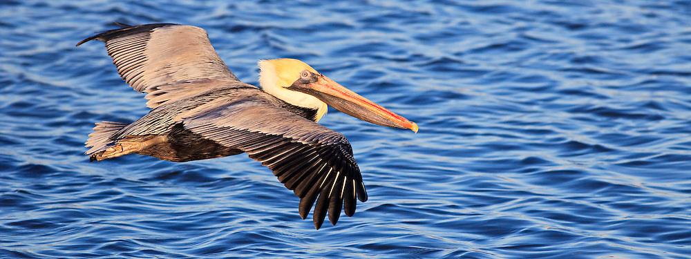 A brown pelican in winter plumage in flight, photographed at Wanchese <br /> Harbor North Carolina. Brown pelicans have a wingspan from 6 to 8 feet.