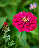 Zinnia. Image taken with a Nikon D850 Camera and 70-300 mm VR lens
