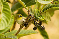 Japaneese white-eyes, native to Japan and other parts of eastern Asia,  were introduced to the Hawaiian Islands in the 1920's. They are now one of the most common birds on this island chain. They have been found to spread avian parasites to endangered indigenous bird species here. Ka'u, Hawaii.