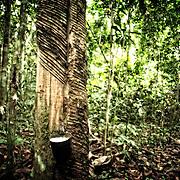 Hevea, arbre a caoutchouc. |  Seringua  no Seringal Cachoeira. Acre. Brasil.