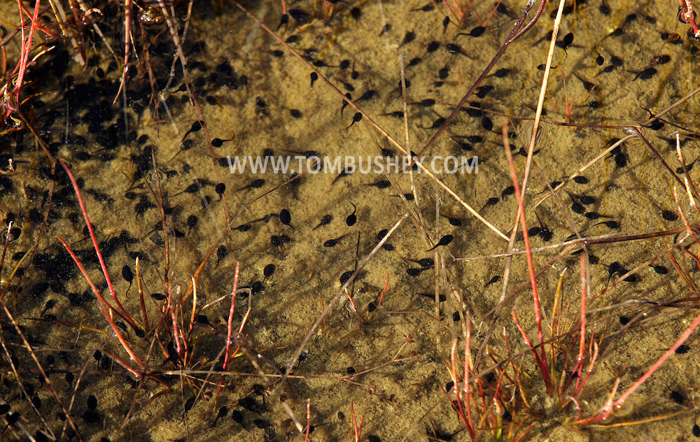 Chester, New York - Tadpoles swim in shallow water in Goospond Mountain State Park on April 24, 2010.