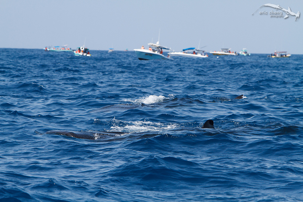 Many boats come to the whale shark (Rhincodon typus) aggregation, bringing tourists who want to swim with the sharks. Isla Mujeres, Mexico.