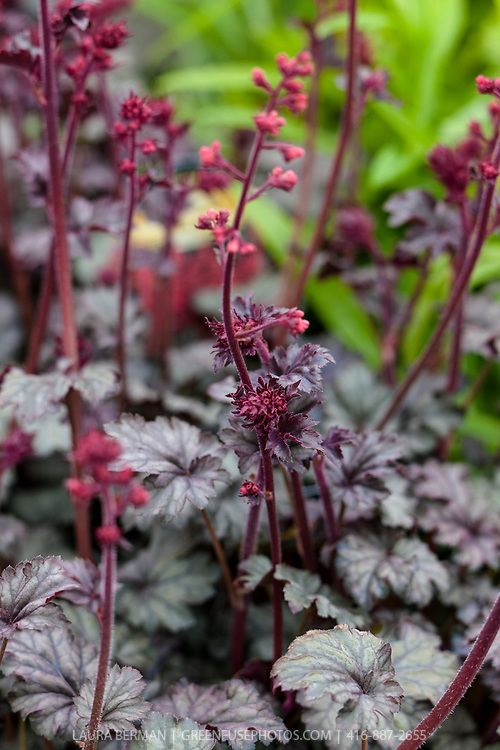 Rave On Heuchera (Heuchera 'Rave On')