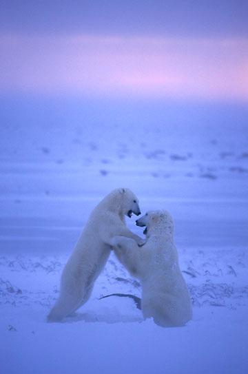 Polar Bear, (Ursus maritimus) Wrestling. Evening. Hudson Bay. Churchill, Manitoba. Canada.