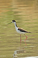 A pair of Black Necked Stilts feeds in the shallow waters of a northern Utah marsh.
