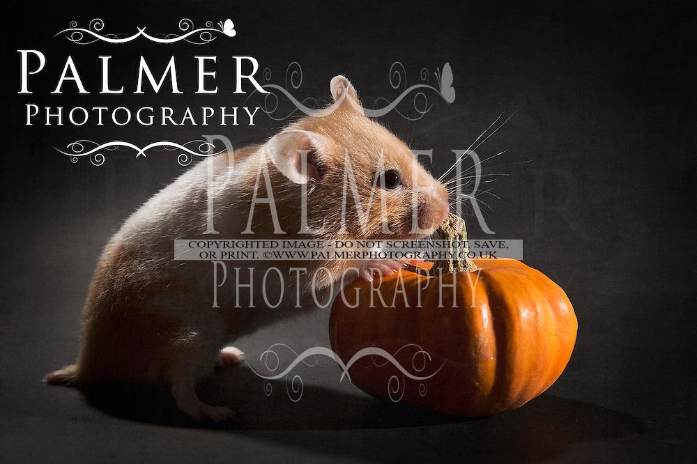 Hamster with pumpkin