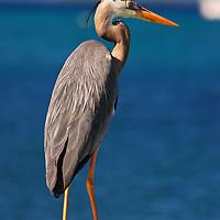 Parque Nacional Archipielago Los Roques, es un hermoso archipiélago de pequeñas islas coralinas que se encuentra ubicado en el Mar Caribe y ocupa 221.120 hectáreas. Garza real.