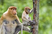 Proboscis Monkey<br /> Nasalis larvatus<br /> Mother and 6-8 week old baby<br /> Sabah, Malaysia