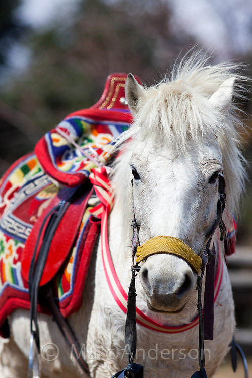 White horse wearing a colourful traditional Nepali saddle, Nepal