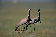 Demoiselle Crane (Anthropoides virgo) pair with chicks, Mongolia