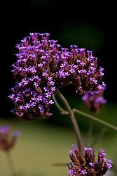 Small purple flowers on a Verbena plant