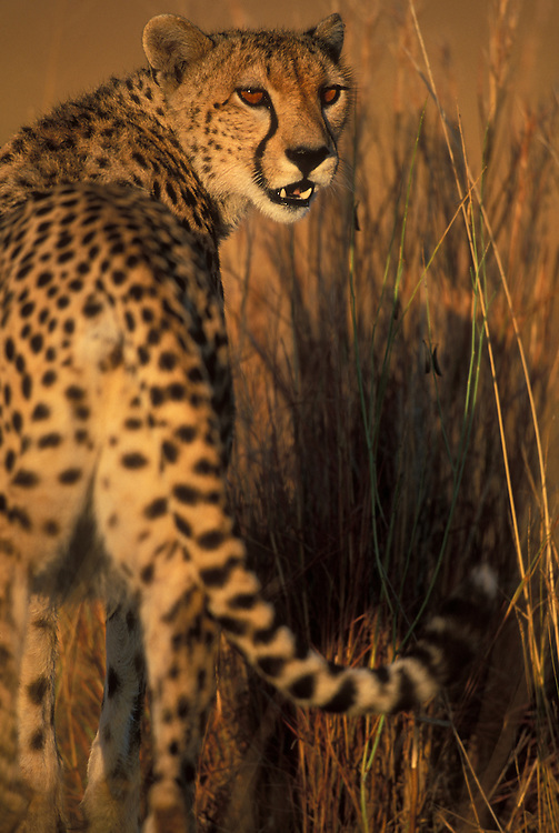 Africa, Kenya, Masai Mara Game Reserve, Adult Cheetah (Acinonyx jubatas) walking in early morning sun on savanna
