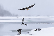 Bald Eagles (Haliaeetus leucocephalus) and ravens competing for salmon scraps in the Chilkat Bald Eagle Preserve in Southeast Alaska. Winter. Afternon.