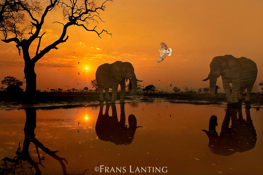 African elephants, Loxodonta africana, and dove at waterhole, Chobe National Park, Botswana
