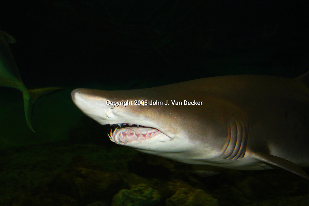 Sand Tiger Shark chasing fish