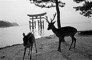 Famous Torii on Miyajima Island, Honshu-Region, near Hiroshima, Japan. Das weltberühmte Torii auf der Insel Miyajima steht im Meer. Honshu-Region, Hiroshima, Japan.