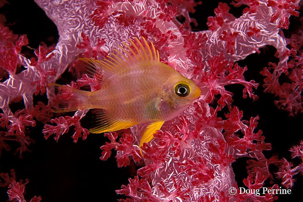damselfish in soft coral, Similan Islands, Thailand ( Indian Ocean )