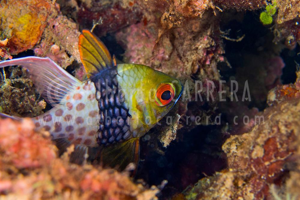 Alberto Carrera, Pyjama Cardinalfish, Sphaeramia nematoptera, Lembeh, North Sulawesi, Indonesia, Asia