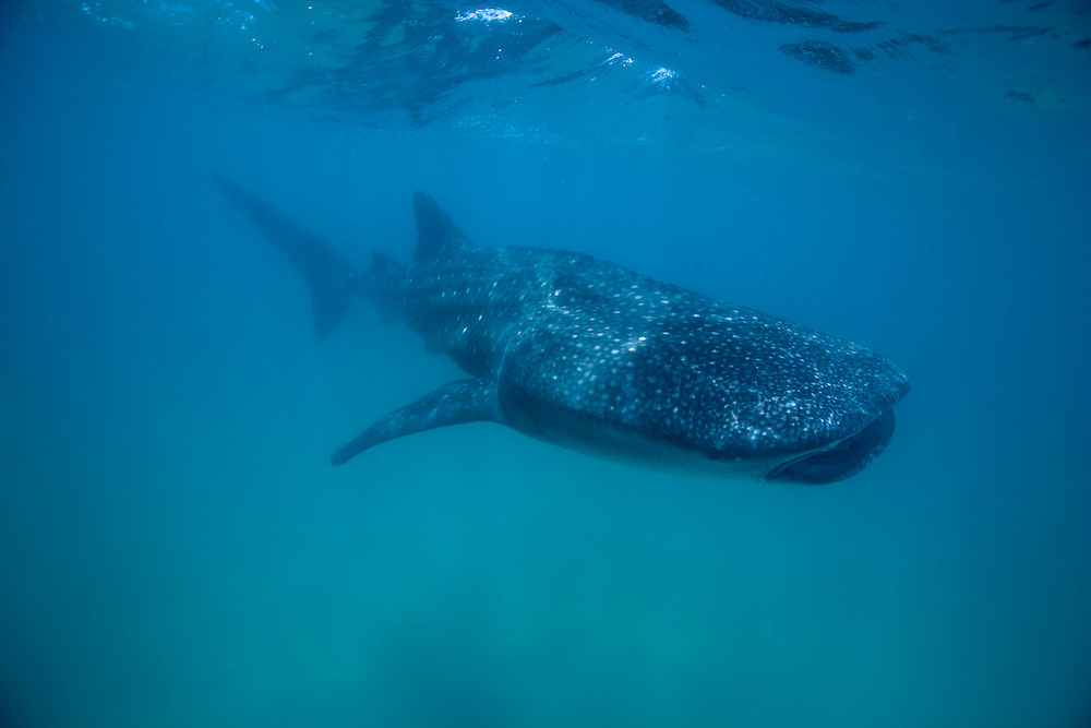 Africa, Mozambique, Guinjata Bay, Jangamo Beach, Underwater view of Whale Shark (Rhincodon typus) swimming at Manta Reef