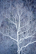 White tree in the winter.