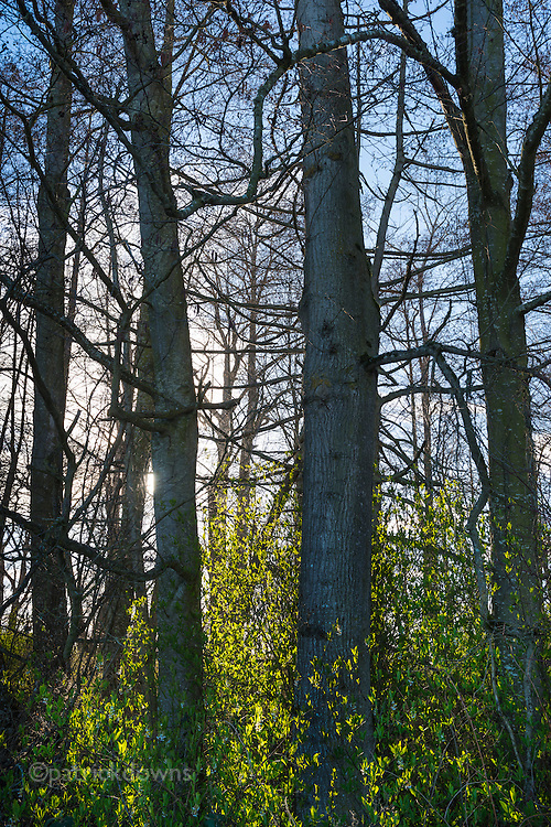 As the undergrowth sprouts new leaves and flowers upon the looming spring, the bare treetops haven't gotten the signal yet. Along the Dungeness River, Sequim WA.