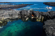Marine Iguana (Amblyrhynchus cristatus) with Sally Lightfoot Crabs (Graspus graspus) Great Blue Heron (Ardea herodias) and Creole Fish (Paranthias colonus)<br /> Puerto Egas<br /> Santiago<br /> Galapagos<br /> Ecuador, South America<br /> ENDEMIC TO THE ISLANDS