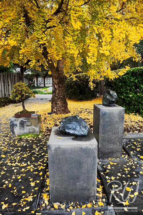 Ginkgo Biloba Tree Fall Color in Japanese Garden at The Huntington, San Marino, California