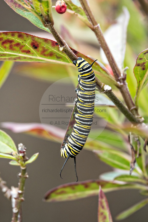 A monarch caterpillar in the fifth state eats milkweed at the Cerro Pelon Monarch Butterfly Preserve near Macheros, Michoacan, Mexico. The monarch butterfly migration is a phenomenon across North America, where the butterflies migrates each autumn to overwintering sites in Central Mexico.