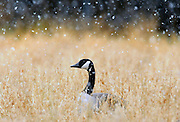pvc122309b/12-23-09/asec.  As a light snow falls a Canada goose sits in a field at the Rio Grande Nature Center, photographed Wednesday Dec. 23, 2009.  (Pat Vasquez-Cunningham/Journal)