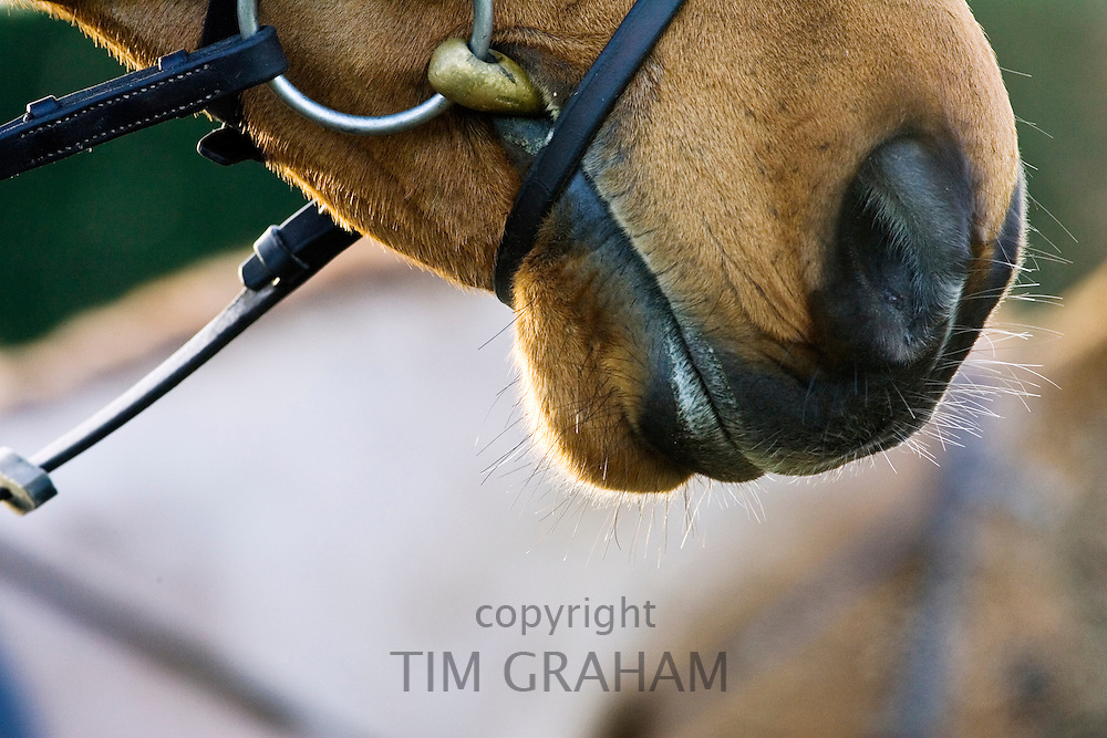 Cleveland Bay Cross Thoroughbred horse, Oxfordshire, United Kingdom.